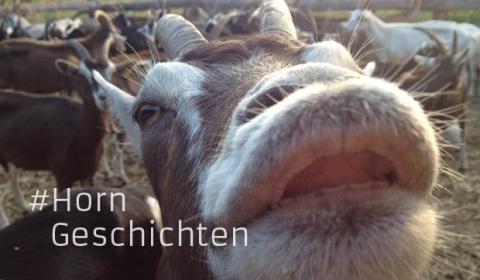 Horngeschichten mit Ziege